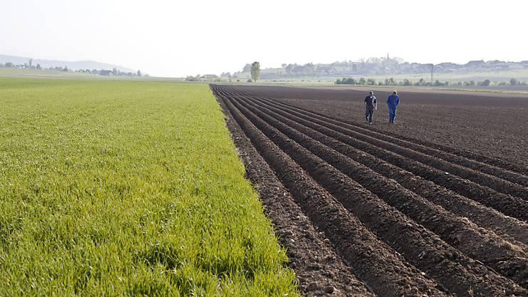 Wo sich im Gemüsebau das eingeschleppte Unkraut Erdmandelgras ausbreitet, können grosse Schäden auftreten. So kann es beispielsweise bei Kartoffeln zu Ernteausfällen von bis zu 40 Prozent und bei Zuckerrüben sogar bis zu 60 Prozent kommen. (Archivbild)