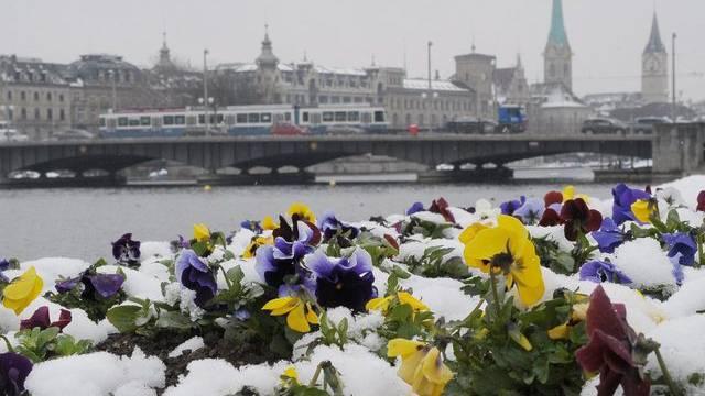 Den zähen Winter bekommen auch diese Stiefmütterchen in Zürich zu spüren (Bild vom Dienstag)
