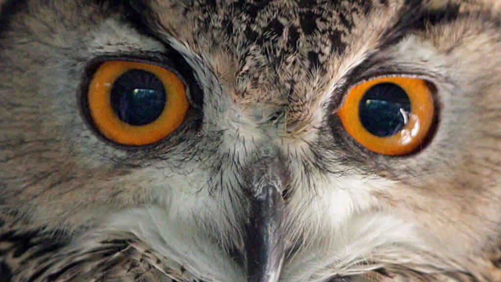 Wie denken die Menschen über Eulen? Künden die Vögel Unheil an oder bringen sie Glück? Die unterschiedlichen Ansichten wollen Forschende nun weltweit dokumentieren.