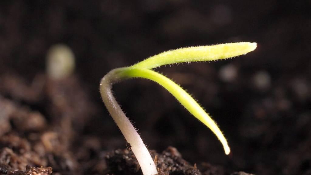 Junge Pflanzen besitzen einen Mechanismus, der es ihnen erlaubt, so schnell wie möglich ihre Photosynthese in Schwung zu bringen, sobald Licht auf sie trifft. Den genauen Vorgang dieses Phänomens haben Forschende nun aufgedeckt. (Im Bild: Ein Tomatensetzling)