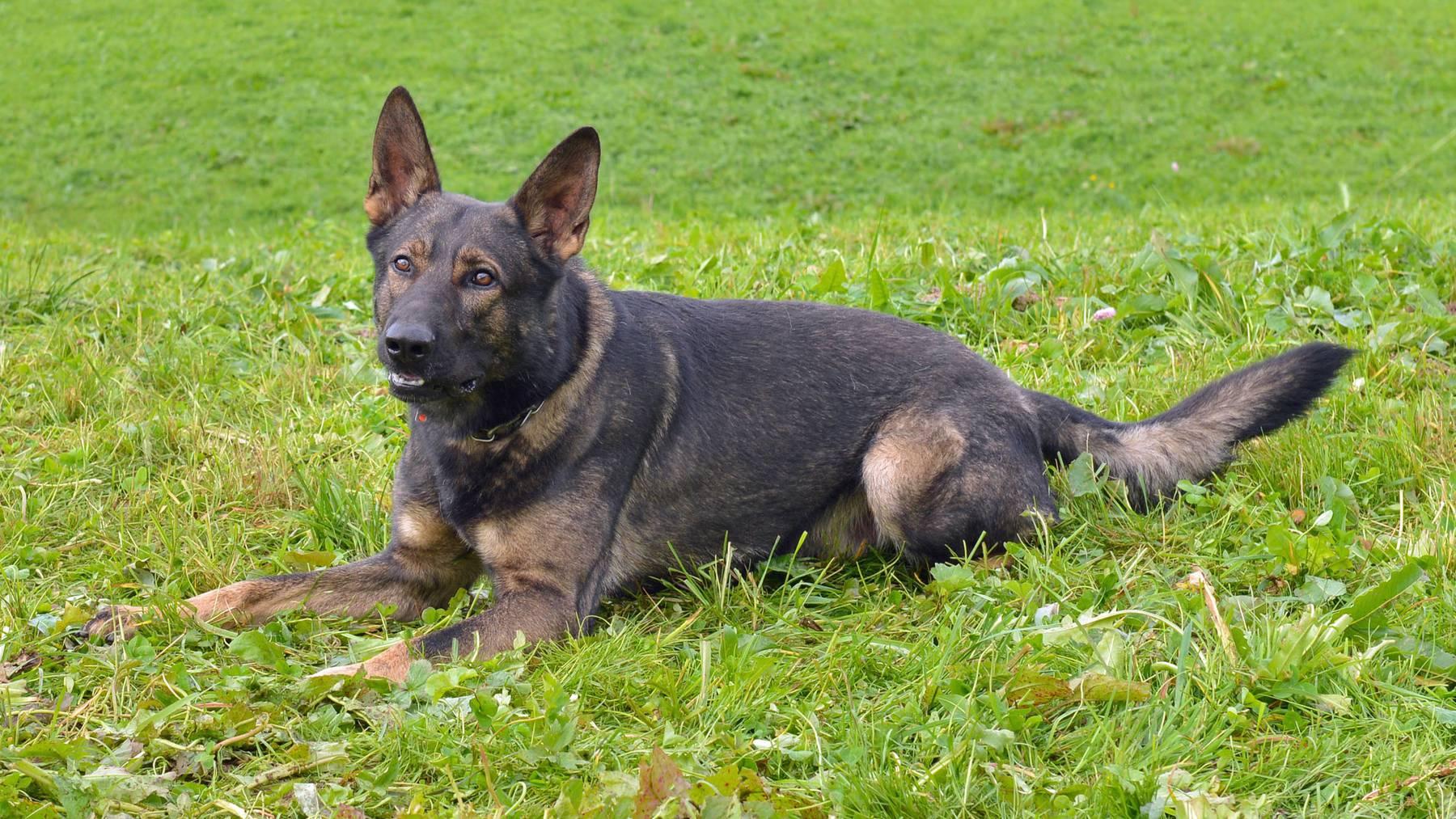 Polizeihund «Rusty» fasst Einbrecher in Ebikon