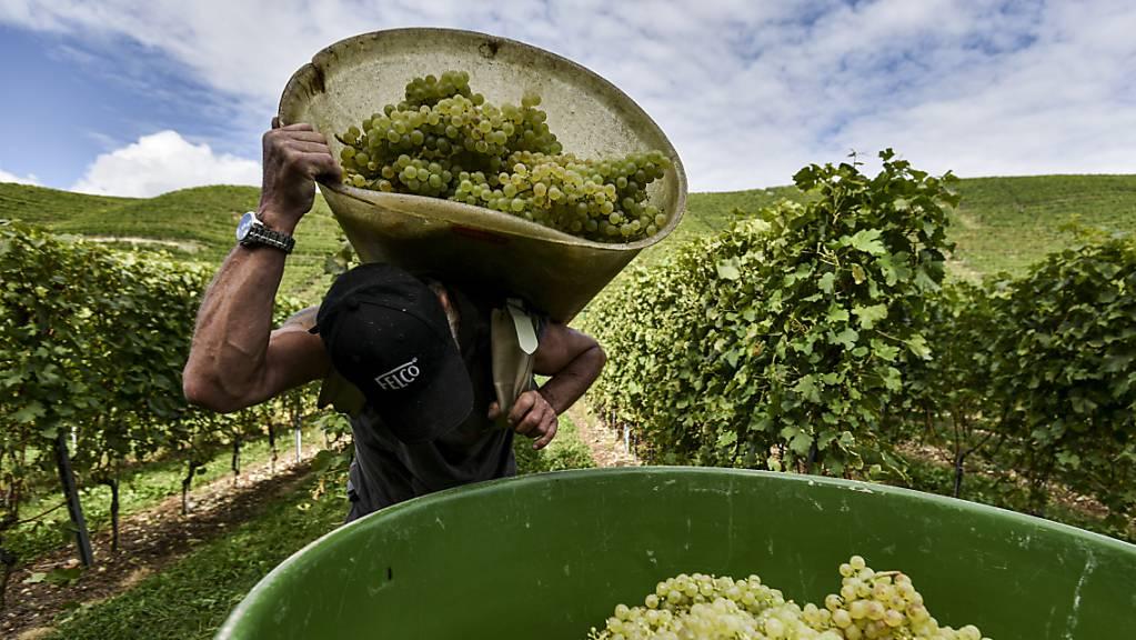 Die Walliser Weinbauern haben 2020 eine qualitativ gute Traubenernte eingefahren. Die Menge war hingegen unterdurchschnittlich. (Archivbild)