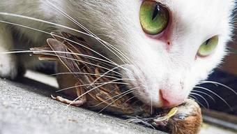 Jagende Katzen sind ein Problem für die Artenvielfalt.