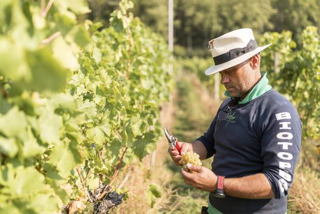 Erholung im Freien: «Die Weinlese ist für mich als würde ich meditieren. Es ist eine schöne Arbeit», sagt der 49-jährige Harley Werffeli.