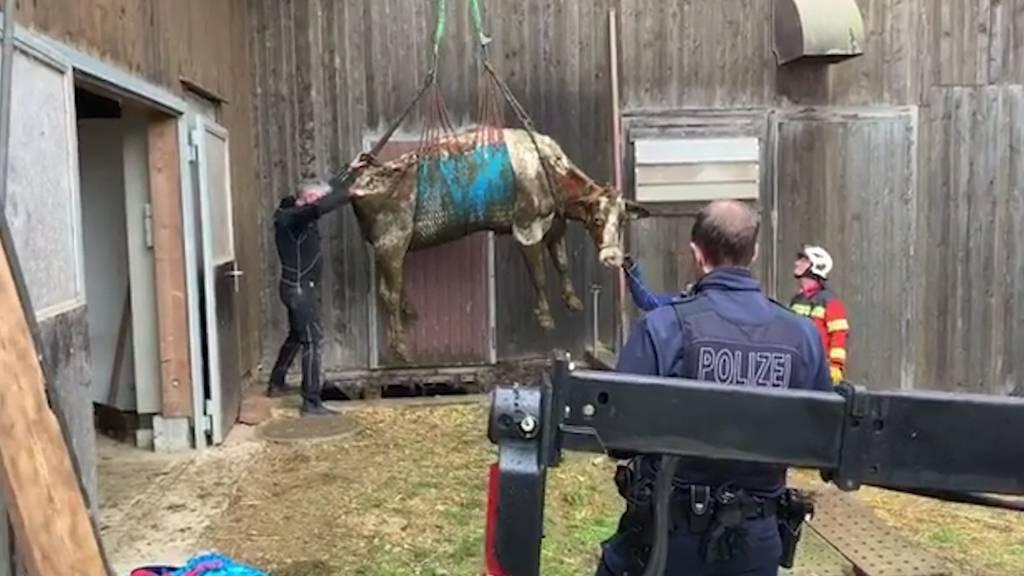 Olten SO: Fünf Kühe aus Güllenloch gerettet