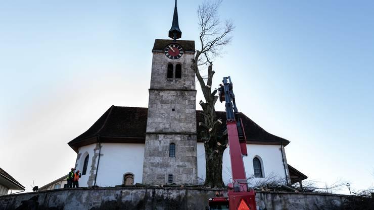 Fällaktion geht weiter: Die Blutbuche neben der Kirche in Messen wird am Donnerstag gefällt.