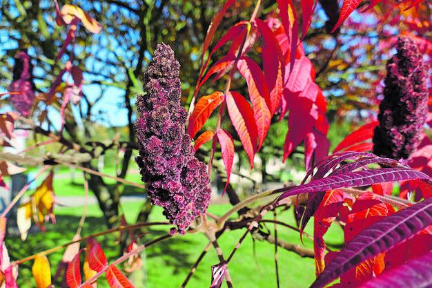 Der Essigbaum (Rhus typhina) stammt aus Nordamerika. Als Zierstrauch kultiviert und oft verwildert.