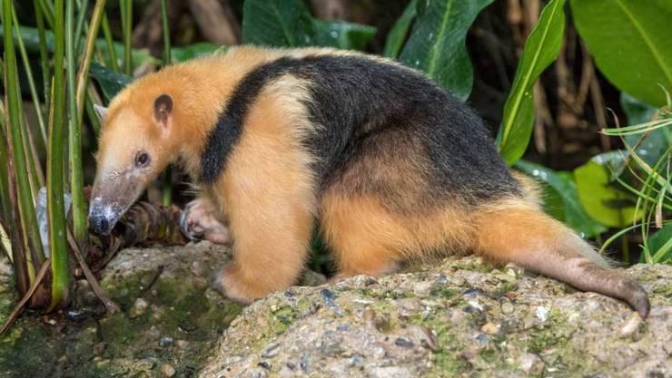 Er war der letzte Tamandua im Zoo Zürich. Der kleine Ameisenbär Lorenzo ist am Mittwoch im hohen Alter gestorben.