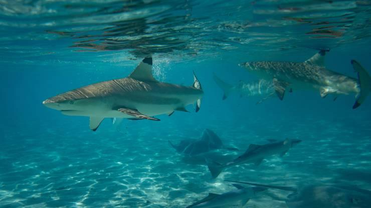 Die Riffhaie erkennt man an der schwarzen Rückenflossenspitze