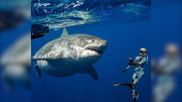 Taucher schwimmen mit riesigem Weissen Hai