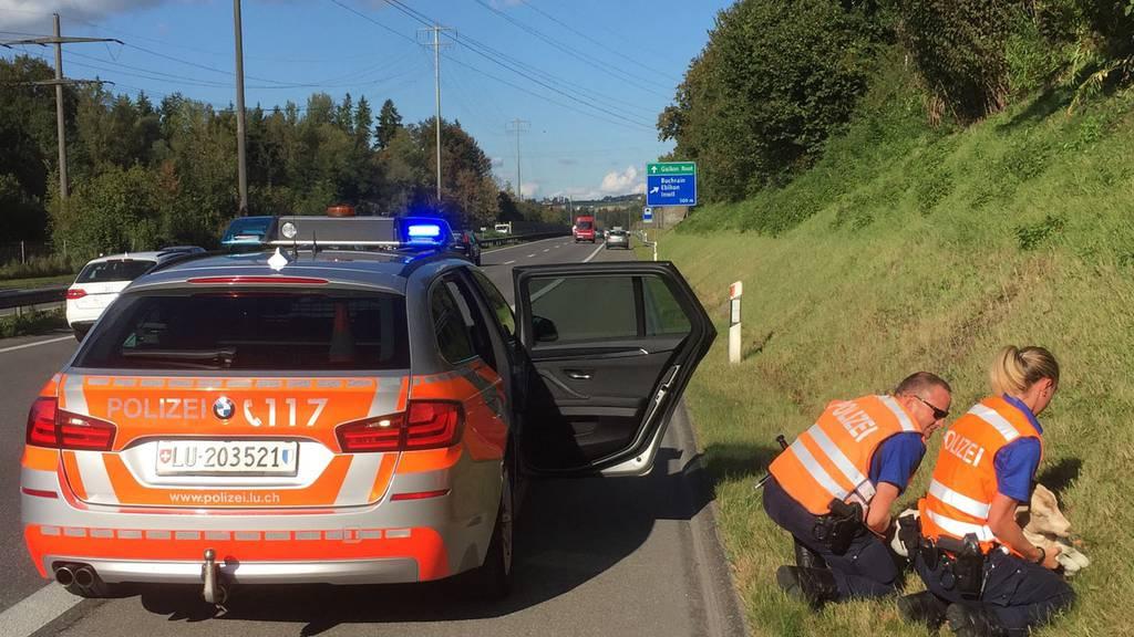 Luzerner Polizei fängt Ziege auf der Autobahn ein