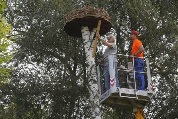 In Staad werden Storchenhorste auf Bäumen platziert.