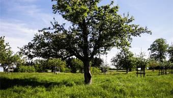 Ein hochstämmiger Apfelbaum auf dem Trolerhof in Menziken