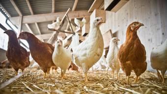 Um jeden Kontakt von Wildvögeln mit Hausgeflügel zu vermeiden, müssten Fütterung und Tränke in einem gegen aussen geschlossenen Stall stattfinden, teilte das BLV am Dienstag mit. (Symbolbild)