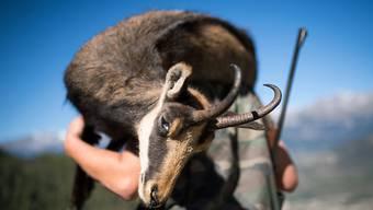 Die Jagd auf Gämsen und Steinböcke im Wallis ist auch bei den Jägern aus anderen Kantonen und aus dem Ausland begehrt. (Symbolbild)
