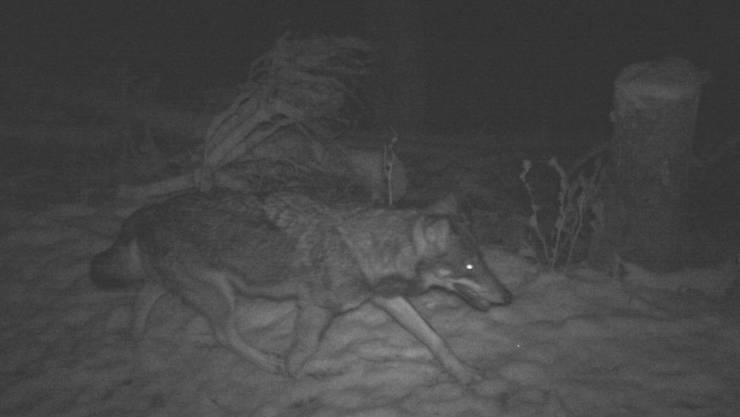 Wurde am Weihnachtstag im Liechtensteiner Alpengebiet fotografiert: der unbekannte Wolf.