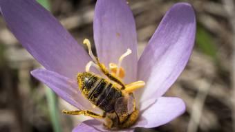 Wildbienen helfen beim Bestäuben von landwirtschaftlichen Feldern, brauchen zum Überleben aber auch blühende Wildblumen. (Archivbild)