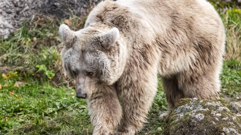 Die Syrische Braunbärin Laila ist im letzten Geschäftsjahr in den Natur- und Tierpark Goldau eingezogen.