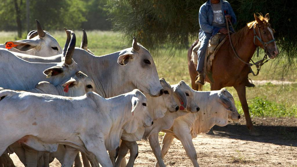 Südamerikanische Rinder – wie zum Beispiel aus Paraguay – sollen Teil des Schweizer Freihandelsabkommens mit den Mercosur-Staaten bleiben.