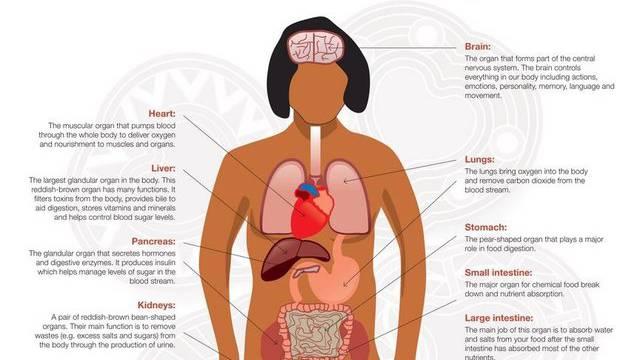 Australisches Anatomie-Poster platziert Lunge im Magen - Kultur - az ...