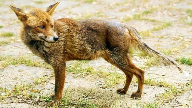 Dieser Fuchs ist an Räude erkrankt, das Fell hat er sich abgekratzt. (Archiv)