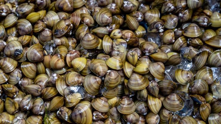 Bedrängt Schweizer Muschelarten: die asiatische Körbchenmuschel. (Bild: Philipp Schmidli)