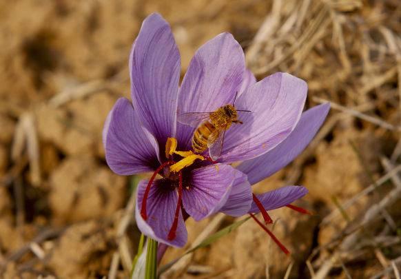 Eine Safran-Blüte im nordindischen Srinagar.