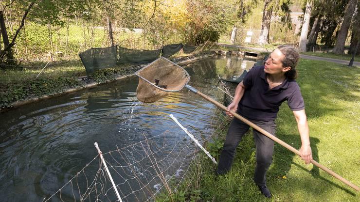 Susanne Mändli fischt einige Fische aus einem Aussenbecken der Forellenzucht Orishof in Liestal.
