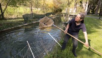 Forellenzucht in Liestal