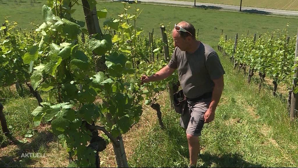 Winzer aus Untersiggenthal ärgert sich über Weinblätterdiebe
