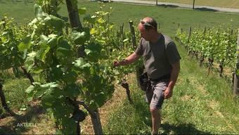 In Untersiggenthal haben Diebe an rund 20 Stauden jeweils Dutzende Weinblätter entwendet. Für den Winzer ist der Diebstahl verheerend. Bereits letztes Jahr schlugen bei dem 46-Jährigen Blätterdiebe zu.