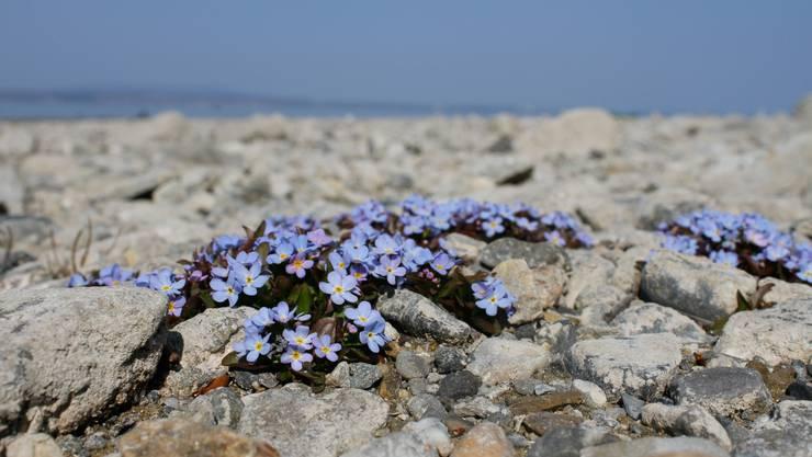 8024 Standorte von seltenen Arten wurden von ehrenamtlichen Pflanzenkennern untersucht. Im Bild ein Bodensee-Vergissmeinnicht.