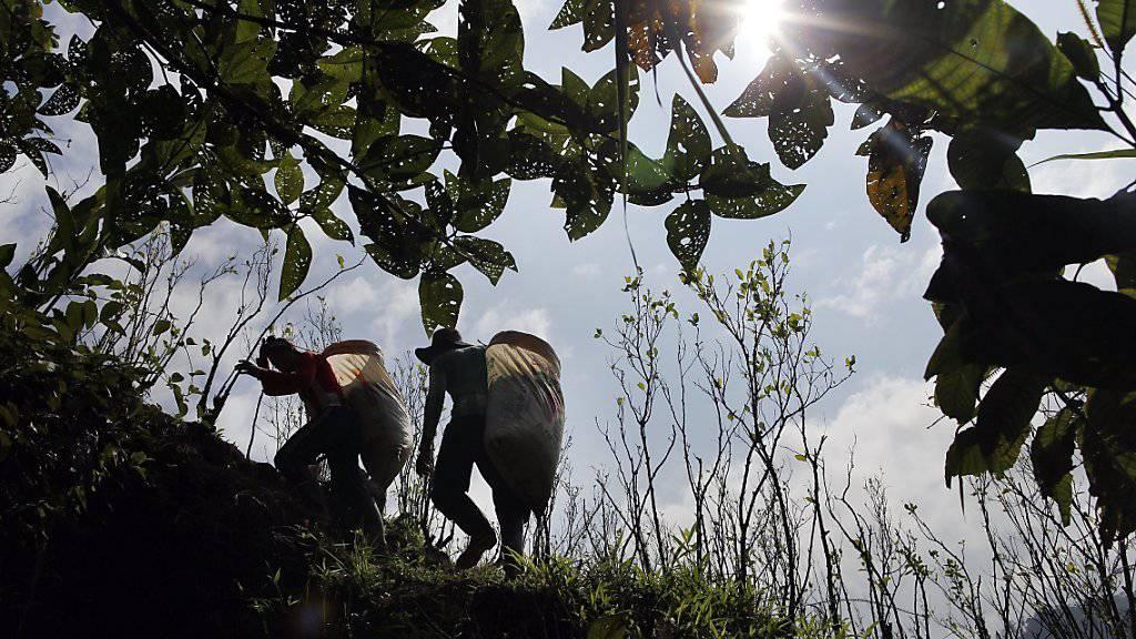 Viele kolumbianische Bauern verdienen sich ihren Lebensunterhalt durch den Anbau von Koka-Sträuchern. Mit Hilfe der UNO sollen diese Menschen künftig legale Produkte anbauen. (Archivbild)