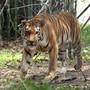 Ein Königstiger im Van Vihar National Park im indischen Bhopal. Die Tigerpopulation Indiens ist auf fast 3000 Tiere gestiegen - ein Erfolg für das Artenschutzprogramm.