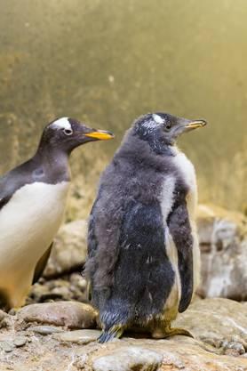 Bei den Königspinguinen ist weiterer Nachwuchs nicht auszuschliessen, weil derzeit noch zwei Paare auf ihren Eiern brüten.