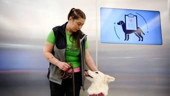 Hunde erschnüffeln auf dem Flughafen in Helsinki nach an Covid-29 erkrankten Personen