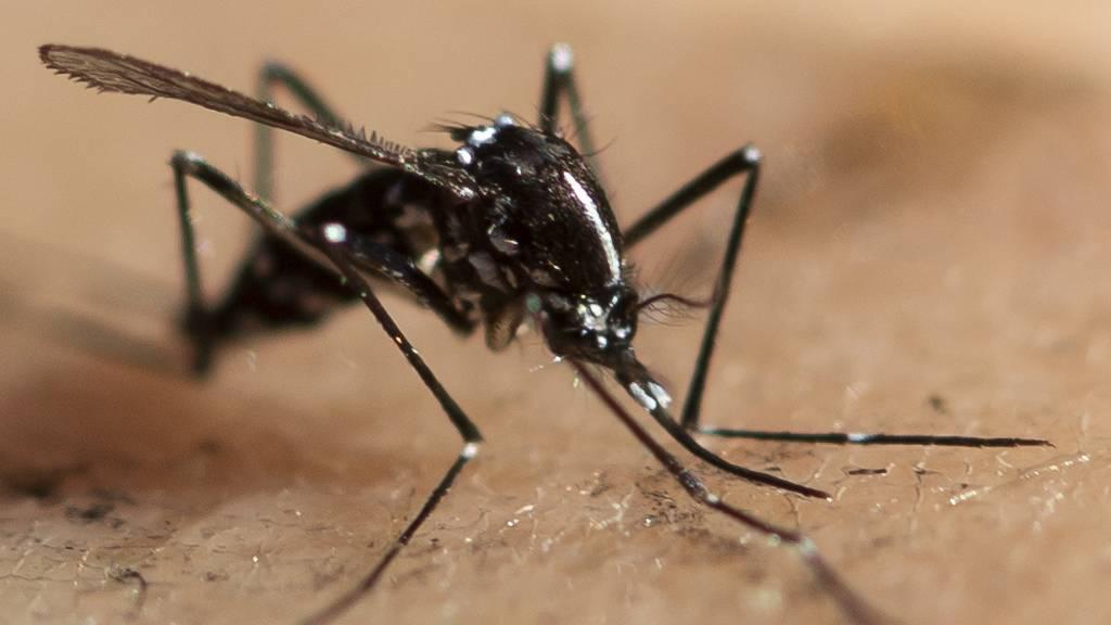 Asiatische Tigermücken im Tessin beherbergen Erbgutanalysen zufolge keine für Menschen gefährlichen Viren.