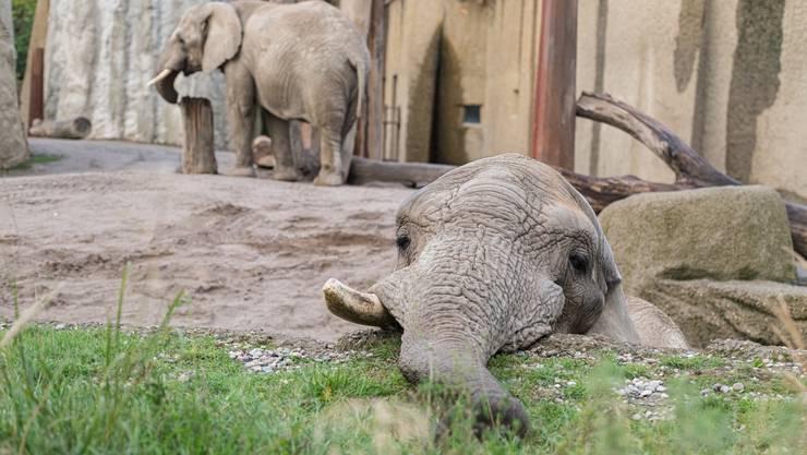 Elefantenbulle Jack konnte im Basler Zolli nicht für Nachwuchs sorgen.