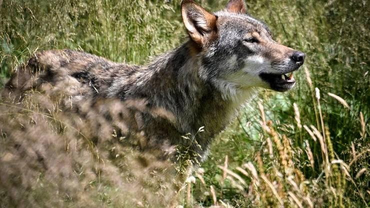 Der Wolf ist im Bündnerland auf dem Vormarsch. (Symbolbild)