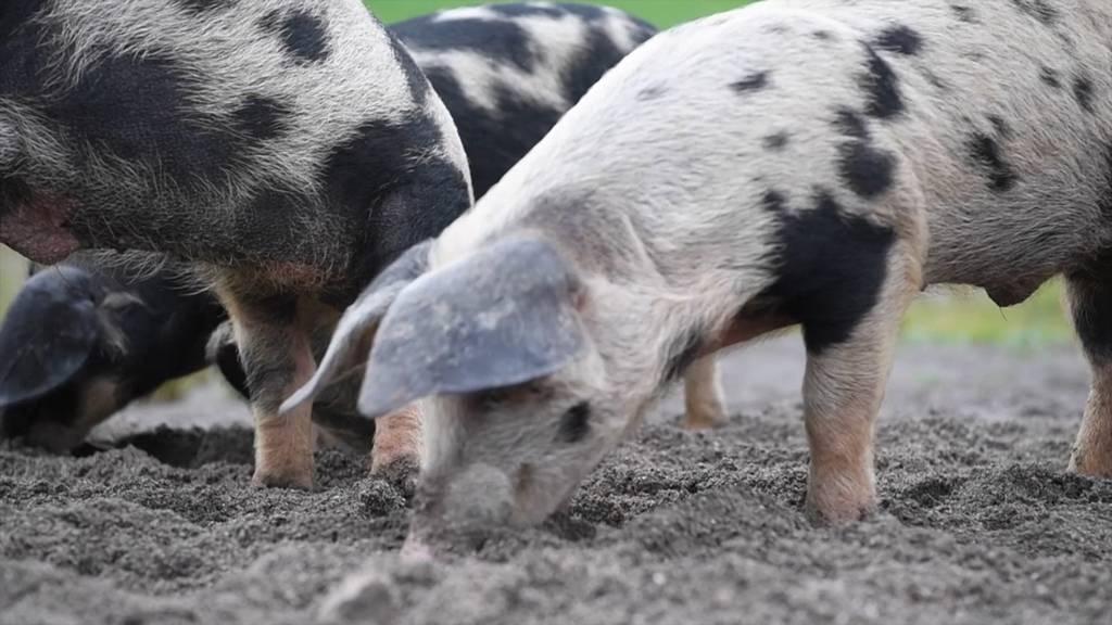 Schwimmende Schweine im Einsatz für Kröten und Unken