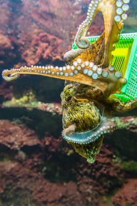 Der bisher intelligenteste Oktopus im Basler Zolli ist Jonathan.