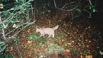 Diese Wildkatze ging Forscher Darius Weber im Baselland schon vor einiger Zeit in die Fotofalle. Ein Duftpfahl aus Dachlatte lockte sie magisch an.