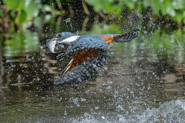 Plötzlich schiesst der Rotbrustfischer im Sturzflug hinunter, packt einen Fisch, der nahe an der Wasseroberfläche schwimmt, und fliegt zurück auf den Ast, wo er seine Beute verschlingt.