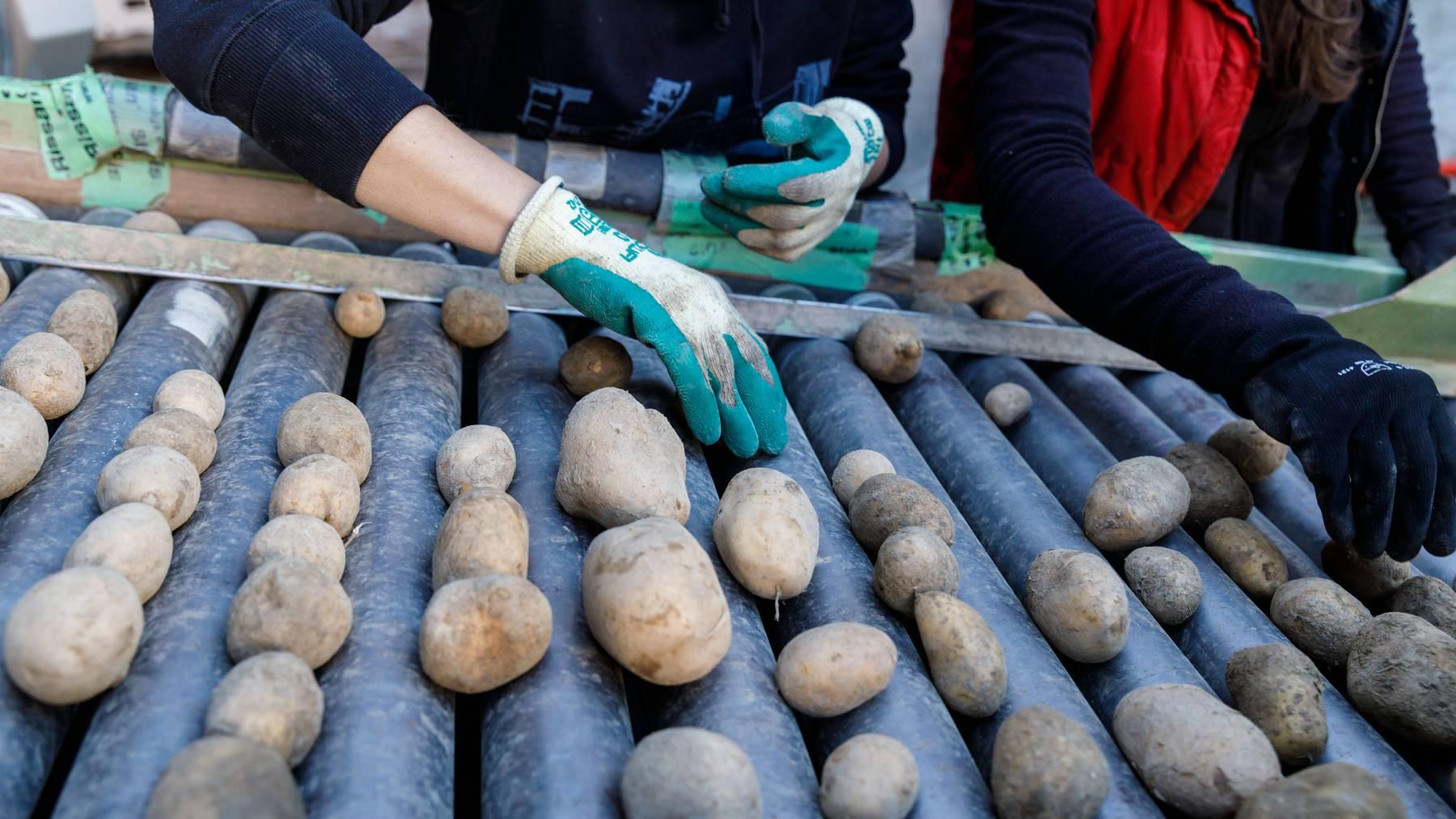 Zur Sicherung der Ernten sind neue, resistente Kartoffelsorten gefragt.
