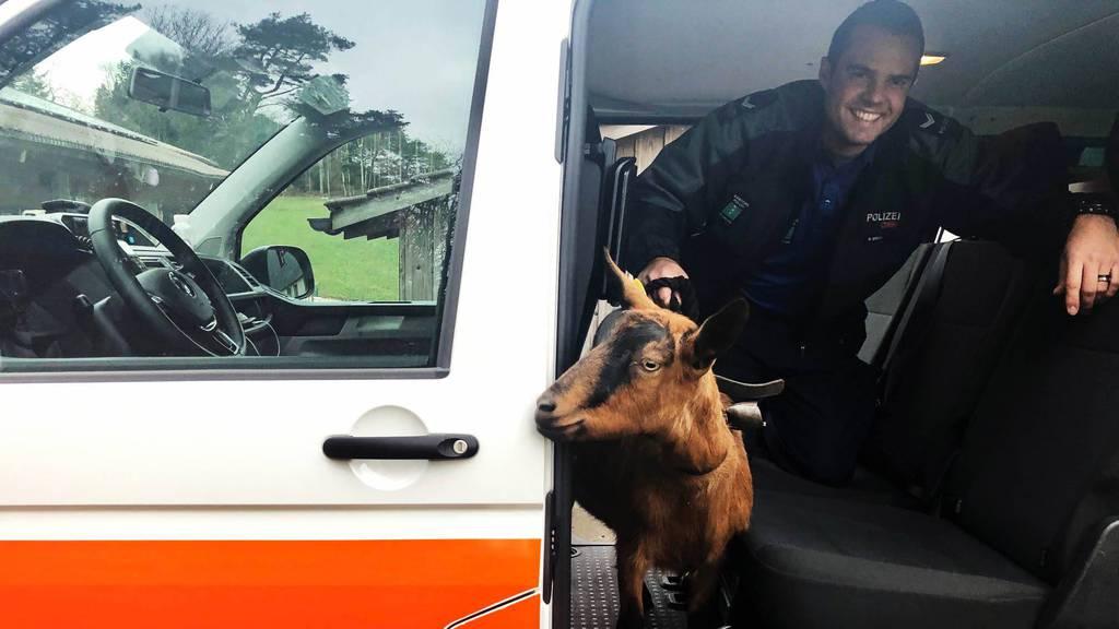Kantonspolizei St.Gallen chauffiert Geiss im Polizeiauto nach Hause
