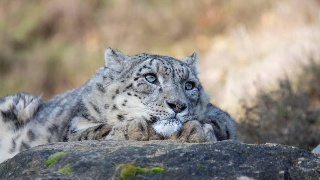 Zoo Zürich nimmt Abschied von Schneeleopard Villy