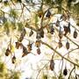 HANDOUT - Graukopf-Flughunde schlafen tagsüber in einem Baum, kopfüber an den Ästen hängend. Australische Flughunde sind ständig in Bewegung und legen jedes Jahr Tausende von Kilometern zurück. Foto: Justin A. Welbergen/BMC Biology /dpa - ACHTUNG: Nur zur redaktionellen Verwendung im Zusammenhang mit der aktuellen Berichterstattung und nur mit vollständiger Nennung des vorstehenden Credits