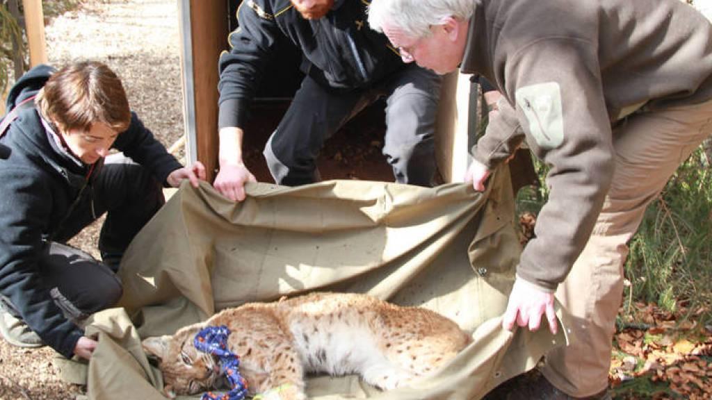 Der Luchs «Arcos» ist im Schweizer Jura von einem Expertenteam eingefangen worden. Er ist am Dienstag in seiner neuen Heimat, dem Biosphärenreservat Pfälzerwald, freigelassen worden.