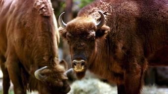 Zwei Wisente im Tierpark in Goldau/SZ (Archiv)