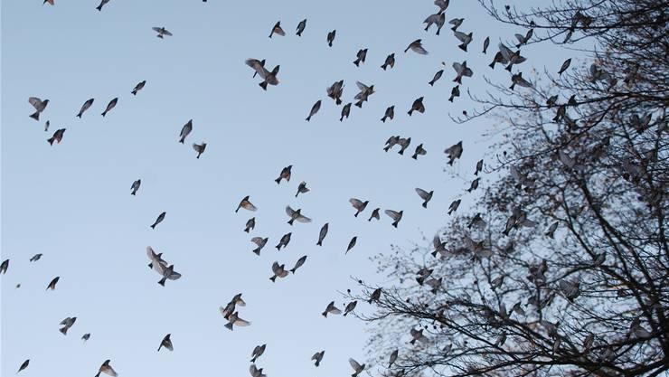Das Beobachten von Vogelschwärmen – hier sind es Bergfinken – gehört zu den Aufgaben der Natur- und Vogelschützer.Walter Schwager/Archiv